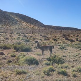A guanaco that we passed on the way to the park