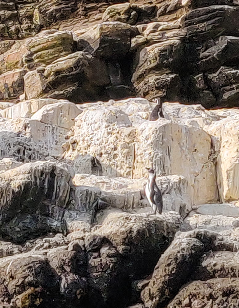 Penguins on bird poop-covered rocks