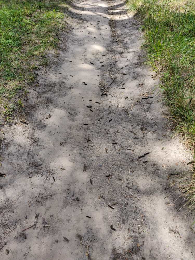 Trail littered with caterpillars