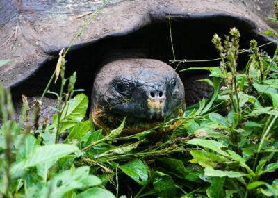 Santa Cruz – Tortoises and Tortuga Bay